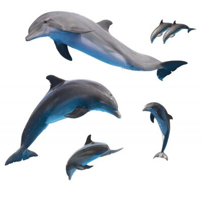 Poster jumping dolphins on white