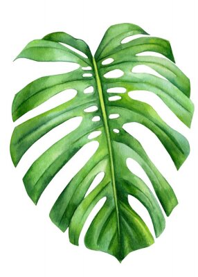 Poster Jungle green leaves of monstera creepers on an isolated white background, watercolor illustration, botanical painting