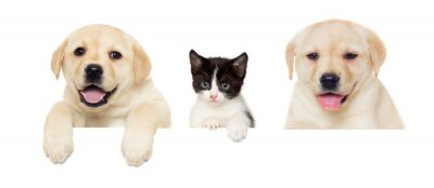 Poster kitten and puppy Labrador peeps
