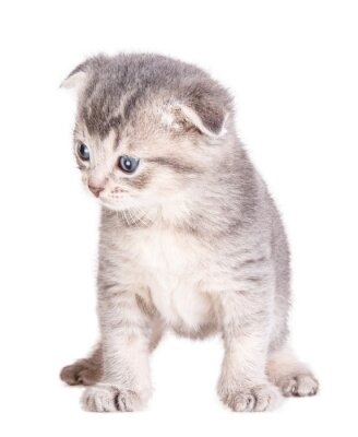Poster kitten isolated on white