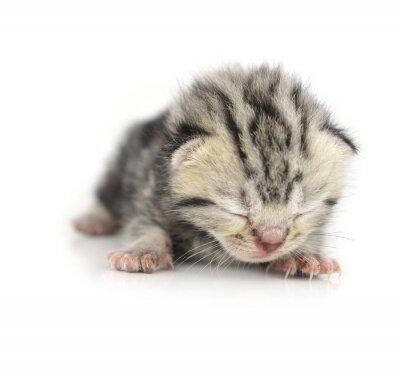 Poster Kitten isolated on white background