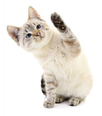 Poster Kitten on a white background