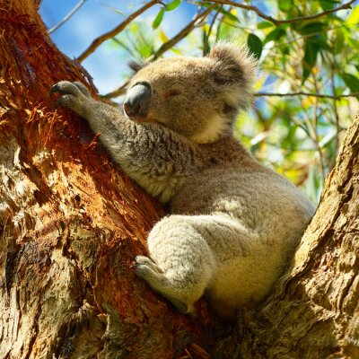 Poster Koalas along Great Ocean Road, Victoria, Australia