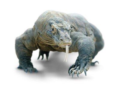 Poster Komodo dragon isolated on white