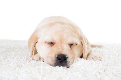 Poster labrador puppy sleeping on a fluffy carpet