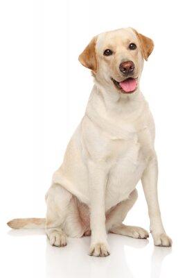 Poster Labrador retriever dog