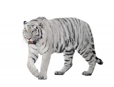 Poster large albino tiger isolated on white