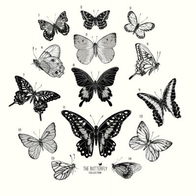 Poster Large Collection of Butterflies, hand drawn set isolated.Vector illustration