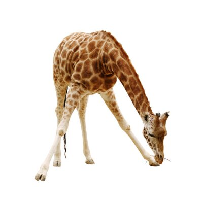 Poster large giraffe isolated on a white background