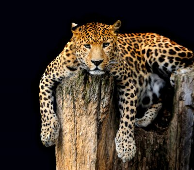 Poster Leopard Isolated on black background