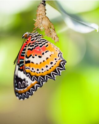 Poster Leopard lacewing butterfly come out from pupa
