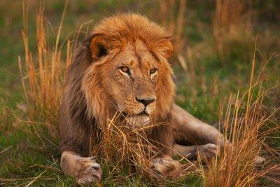 Poster lion
