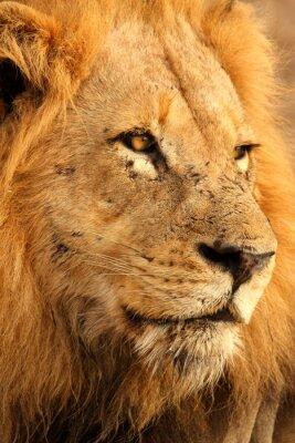Poster Lion in Sabi Sands