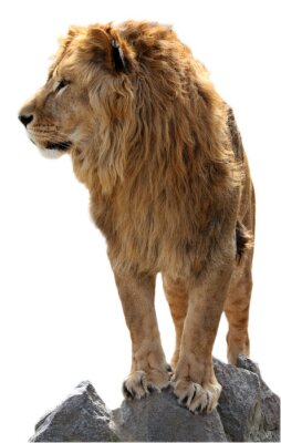 Poster Lion on a stones