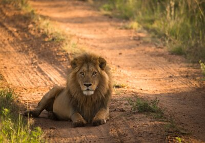 Poster Lion on the morning african road