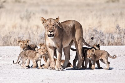 Poster Lioness and cub