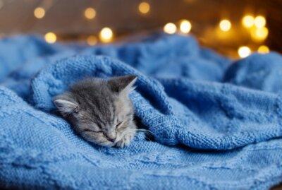 Poster little kitten sleeping under a blanket