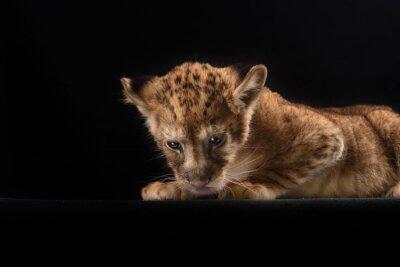 Poster little lion cub  on black background