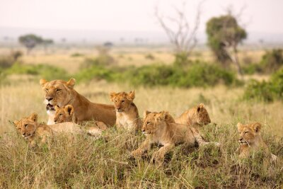 Poster Little lion cubs relaxing