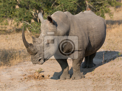 Poster Lone rhino standing on open area looking for safety from poacher
