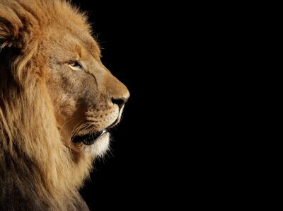 Poster Male African lion on black