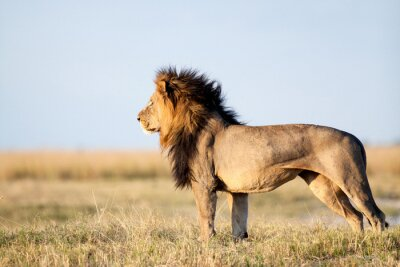 Poster Male Lion