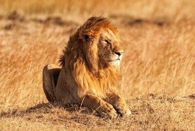 Poster Male lion in Masai Mara