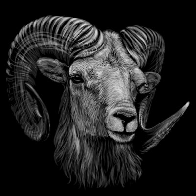 Poster Mountain sheep. Artistic, monochrome, black and white, hand-drawn portrait of a mountain sheep on a black background.