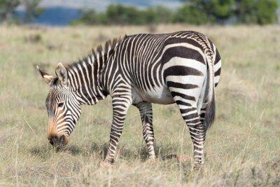 Poster Mountain zebra grazing
