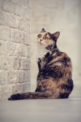 Poster Multi-colored cat near a brick light wall