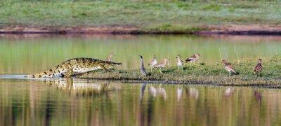 Poster Nile crocodile in Kruger National park, South Africa