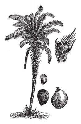 Poster Oil palm vintage illustration.