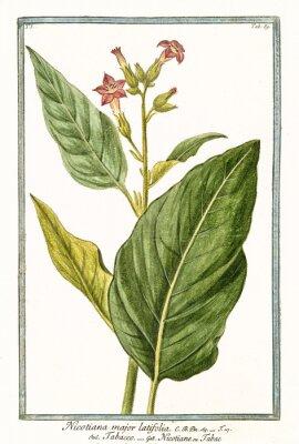 Poster Old botanical illustration of Nicotiana major (Nicotiana tabacum). By G. Bonelli on Hortus Romanus, publ. N. Martelli, Rome, 1772 – 93