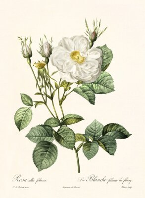 Poster Old illustration of Rosa alba foliacea. Created by P. R. Redoute, published on Les Roses, Imp. Firmin Didot, Paris, 1817-24