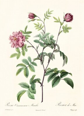 Poster Old illustration of Rosa cimmamomea majalis. Created by P. R. Redoute, published on Les Roses, Imp. Firmin Didot, Paris, 1817-24