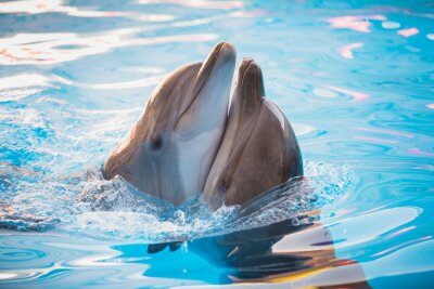 Poster pair of dolphins dancing in water