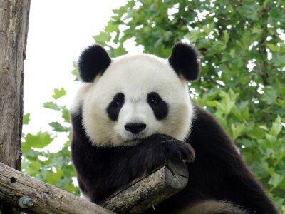 Poster Panda Géant 3