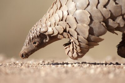 Poster Pangolin searching for ants