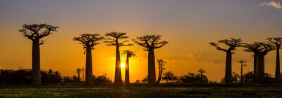 Poster Panorama view at sunset above Baobab avenue