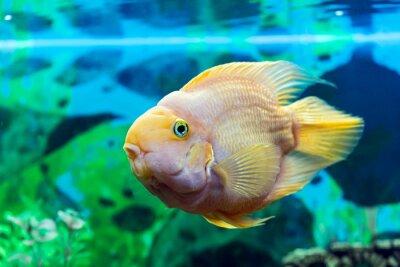 Poster Parrot fish closeup