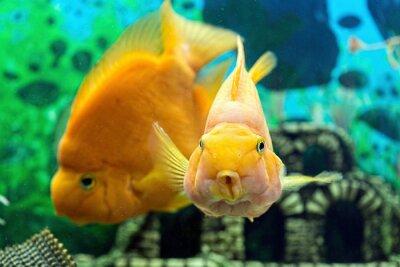 Poster Parrotfish in aquarium closeup