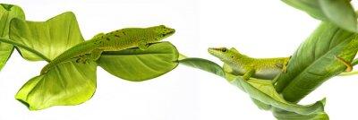 Poster Phelsuma madagascariensis - gecko isolated on white