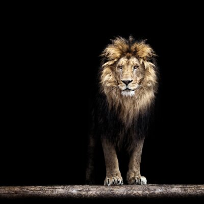 Poster Portrait of a Beautiful lion, lion in the dark