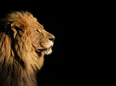 Poster Portrait of a big male African lion on black