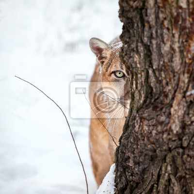 Poster Portrait of a cougar, mountain lion, puma,cougar behind a tree.