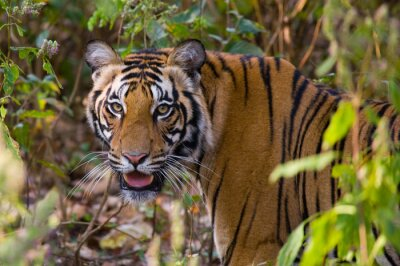 Poster Portrait of a tiger in the wild. India. Bandhavgarh National Park. Madhya Pradesh. An excellent illustration.