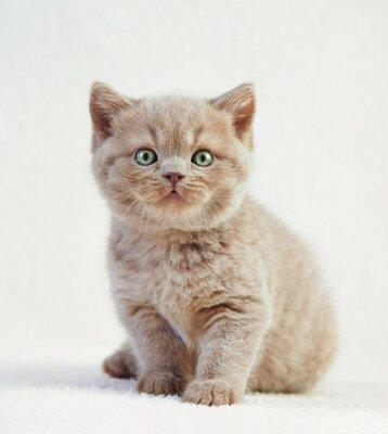 Poster portrait of british short hair kitten