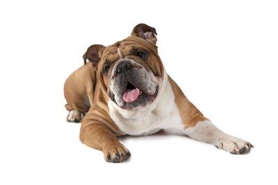 Poster Portrait of English Bulldog on white background