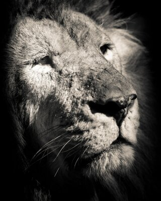 Poster portrait of lion  - black and white photo