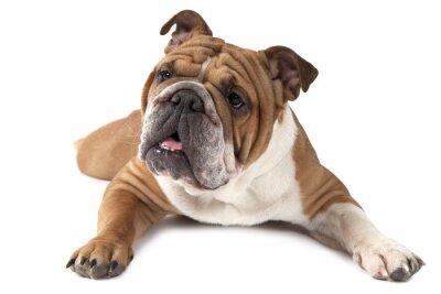 Poster Portrait of purebred English Bulldog on white background